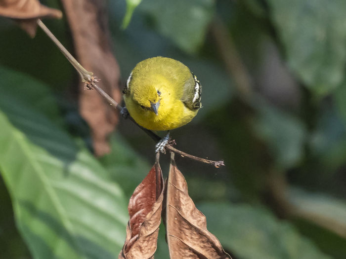 Common Iora (Aegithina tiphia) Animal Themes Animal Bird Animal Wildlife Vertebrate Yellow Perching Animals In The Wild One Animal Focus On Foreground Plant Close-up Leaf Day Nature Tree Branch Outdoors No People Common Iora
