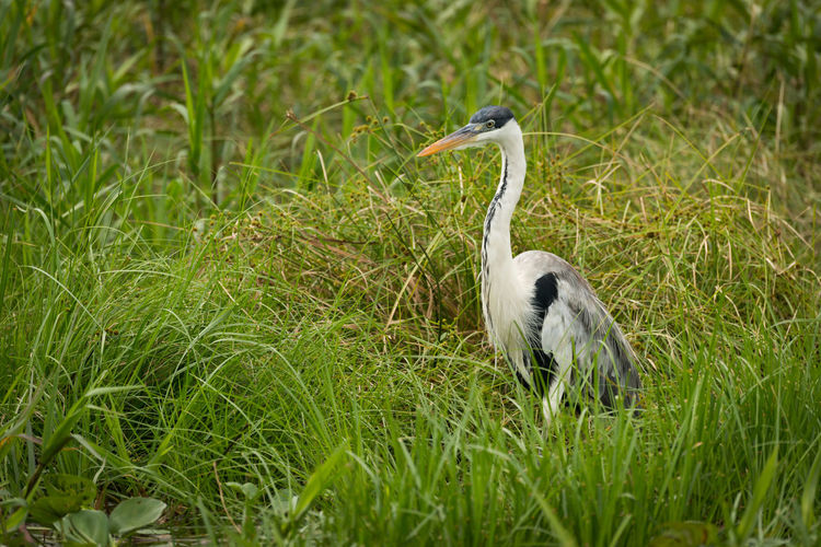 Animal Themes Animal Wildlife Animals In The Wild Bird Close-up Coco Day Field Grass Gray Heron Green Color Nature No People One Animal Outdoors Yacare