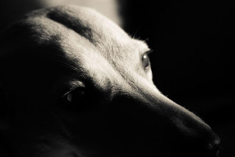 Close-up of greyhound against black background