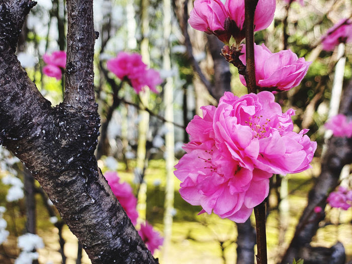 Close-up of fresh pink cherry blossoms in spring