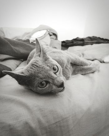 relaxing on bed Cat Cats Of EyeEm RussianBlue Russianbluecats Bw Casual Casual Day Leicacamera Leica Lens Leica Huawei P9 HaweiP9 EyeEm Selects Sand No People Indoors  Close-up Day Sand Dune