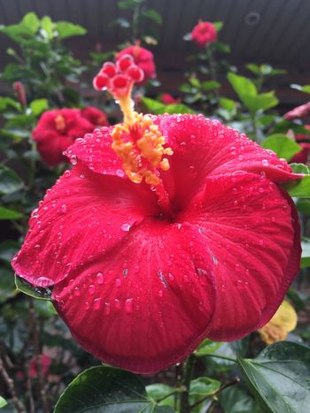 Flower Petal Fragility Beauty In Nature Nature Growth Flower Head Freshness Plant Day Drop Red Outdoors Wet Close-up Water Blooming No People