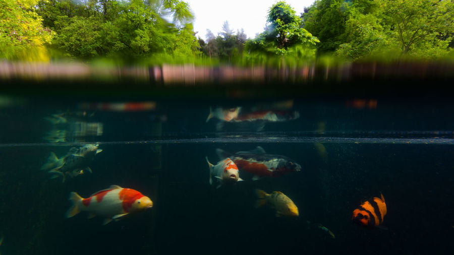 16:9 Animal Themes Animals Beauty In Nature Bubbles Buddha Statue Canon Canonphotography Carp Day Fish Koi Carp Koi Pond Large Group Of Animals Nature Nature No People Outdoors Scenics Swimming Tree Trees Underwater Water Waterline