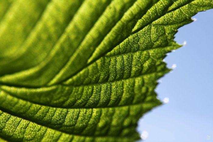 Young Leaves Macroclique TreePorn EyeEm Best Shots - Nature
