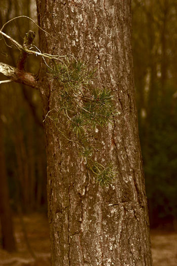 Bourley Heath. Bark Bark Texture Beauty In Nature Conifer  Contrast Simple Image Texture In Nature Tree