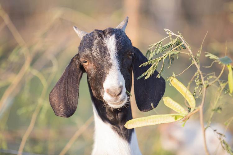 Goats are eating acacia on the farm.