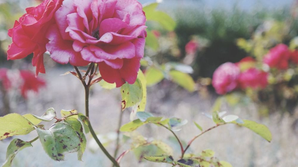 EyeEm Nature Lover Nature Roses