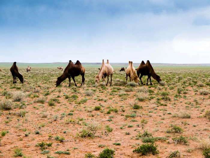 Camel in the Gobi Desert of Mongolia Animal Themes Arid Climate Camel Day Desert Domestic Animals Field Grass Horse Landscape Livestock Mammal Nature No People Outdoors Sand Sky