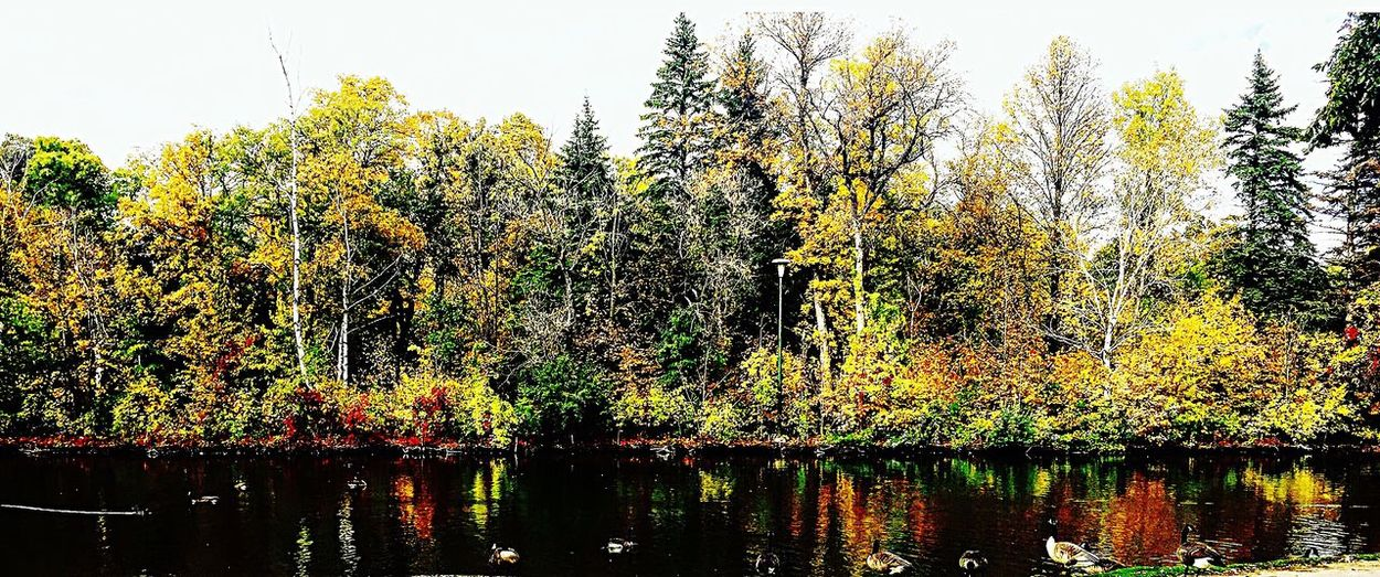 Stvitalpark Panorama Trees Collection Fall Beauty Fall Colours Check This Out Taking Photos Enjoying Life Hello World Beauty In Nature Duck Pond First Eyeem Photo Beautiful Nature Winnipeg Manitoba Canada Leaves🌿 Warmdays