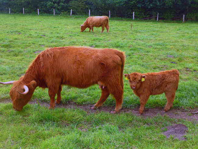 Animal Themes Brown Field Grass Grassy Grazing Herbivorous Highland Cattle Hochlandrinder Horned Landscape Livestock Mammal Pasture Rural Scene Tranquility Young Animal Zoology