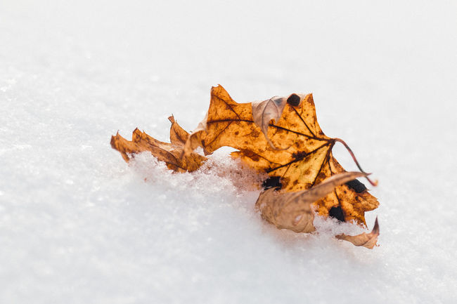 Blown Close-up Composition Dead Leaves Dried Dried Leaf Dried Leaves Dry Fresh Snow Leaf Macro Macro Photography Natural Pattern Negative Space Orange Part Of Showcase: February Single Single Object Snow Snow Covered Solitude Sparkle Winter Wintertime