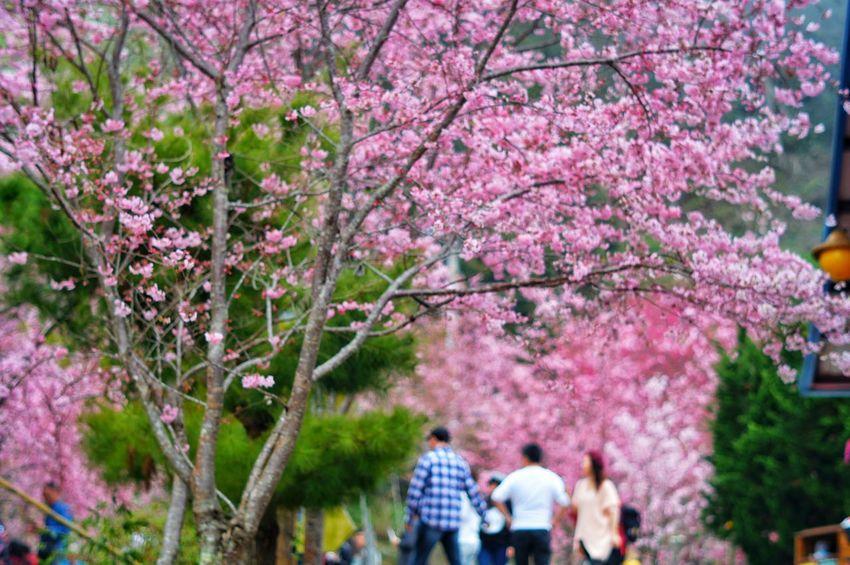恩愛農場 臺灣 Day Flower Tree Pink Color Growth Beauty In Nature Springtime Nature Blossom Men Real People Freshness Cherry Blossom Cherry Tree Plant Outdoors Fragility Women Branch Flower Head Nature Taiwan