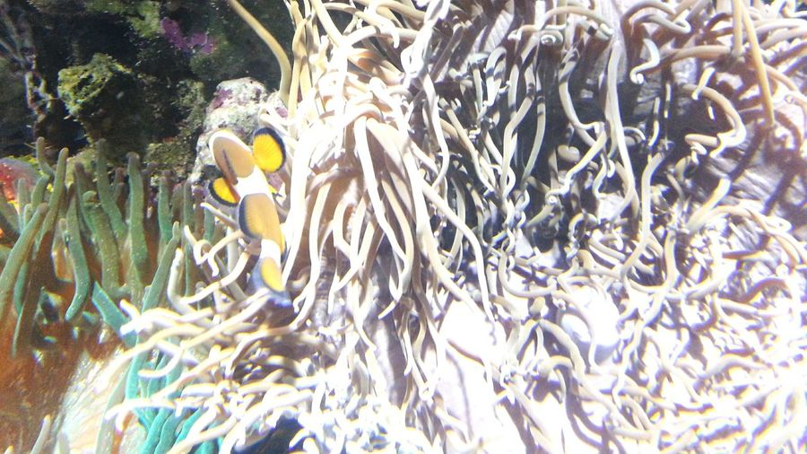 Nemo. Fish Clown Fish Clownfish Anemone Anemones Anemone Flower Oceanographic Valencia, Spain Animal Themes Animals In The Wild No People Nature Sea Life Large Group Of Animals Water Day Underwater UnderSea Beauty In Nature Swimming Close-up Outdoors Fragility