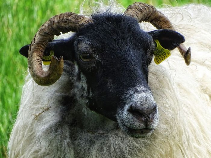 One Animal Mammal Animal Themes Domestic Animals No People Nature Water Animal Wildlife Day Animals In The Wild Outdoors Portrait Close-up American Bison Ireland🍀 Irish Beauty Beauty In Nature Sheeps Sheep🐑 Mouton