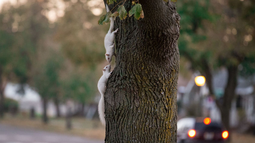 An encounter between Albino Squirrels in Saint Paul, Minnesota Albino Squirrels Animals Posing Animals In The Wild Confrontation Encounter FUNNY ANIMALS Funny Love Meeting Squirrel Tree Albino Albino Squirrel Animal Animal Encounters Animals Meet Nature No People Nose To Nose Outdoors Squirrels Sunset Tree Trunk Urban