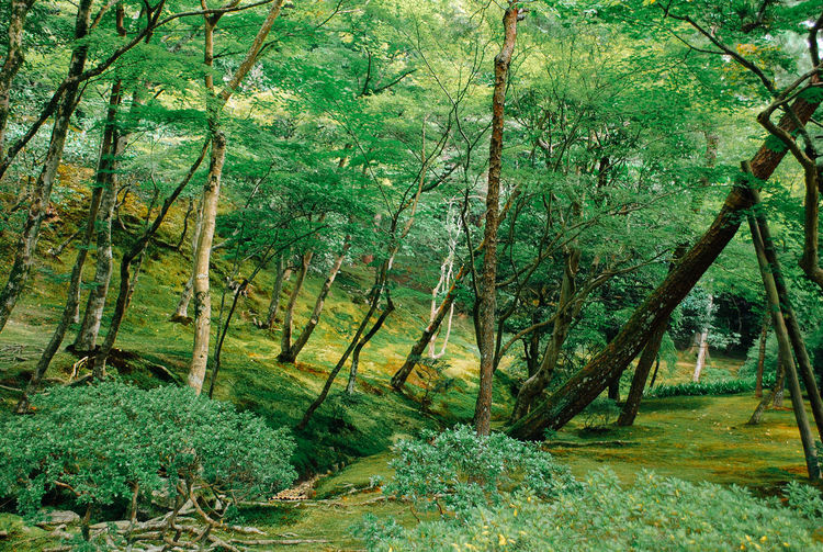 Sacred Forest in Kyoto Spirituality Beauty In Nature Day Environment Foliage Forest Green Color Growth Land Landscape Lush Foliage Mysterious Nature No People Non-urban Scene Outdoors Plant Rainforest Sacred Scenics - Nature Spiritual Tranquil Scene Tranquility Tree WoodLand