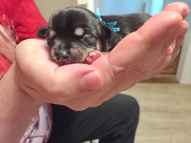 Chiahuaha Dog Domestic Animals Friendship Holding Human Body Part Human Hand Indoors  One Animal One Person Pets Puppy Real People Young Animal