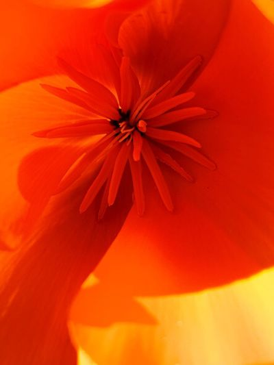 """Poppy"" An extreme closeup of the interior treasure of a Poppy flower emerging into the coming Spring. Spring Poppy Flowers Poppy Wildflowers Wildflower Flower Flowering Plant Plant Close-up Beauty In Nature Freshness Petal Orange Color Fragility"