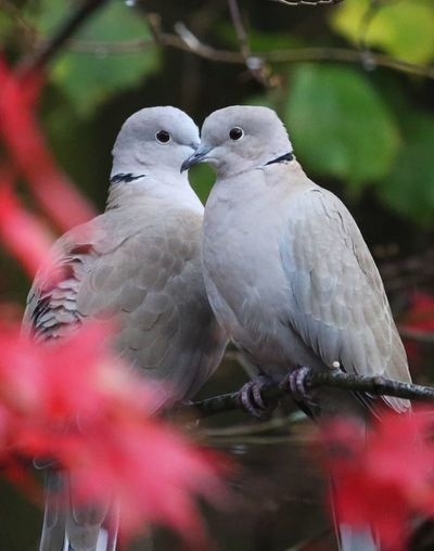 All Lovey Dovey Collared Doves Pair Love Bird Vertebrate Animal Wildlife Perching Group Of Animals Two Animals Nature Animals In The Wild No People Close-up Outdoors Beauty In Nature Branch Togetherness