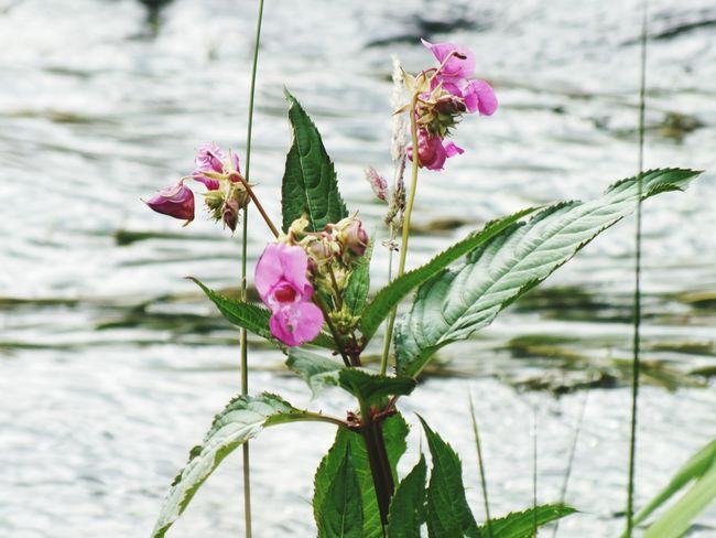 Himalayan Balsam Flower Pink Color Nature Beauty In Nature Plant No People Purple Freshness Fragility Flower Head Outdoors Petal Day Springtime Close-up Growth Water Wildflower Lakeside Lake View Himalayan Balsam Himalayan Balsam