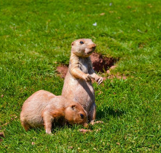EyeEm Selects Prairie Dogs Field Animal Wildlife No People Animal Themes Outdoors Nature