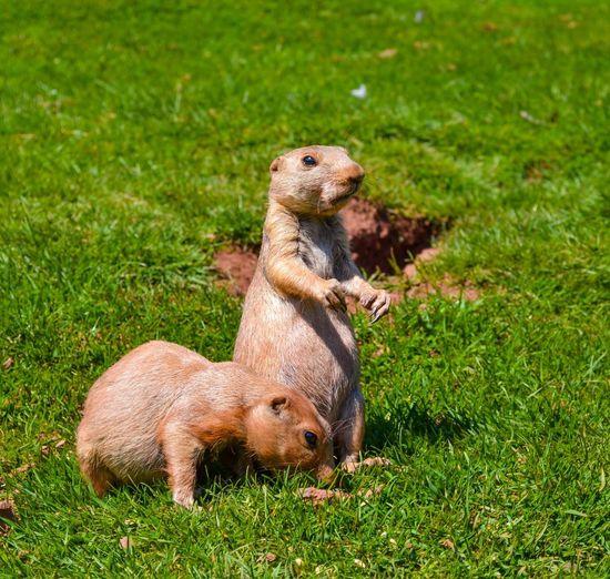 EyeEm Selects Prairie Dogs Field Animal Wildlife No People Animal Themes Outdoors Nature