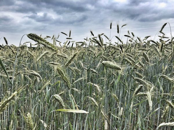 • wheat • Wheat Sky Cloud - Sky Plant Growth Nature Day Low Angle View Agriculture Beauty In Nature Tranquility No People Field Land Crop  Outdoors Landscape Rural Scene Tranquil Scene Scenics - Nature