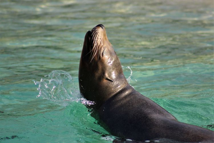 Animal Themes Animals In The Wild Aquatic Mammal Close-up Day Low Section Mammal Nature Outdoors Sea Sea Lion Seal - Animal Swimming Water Wet