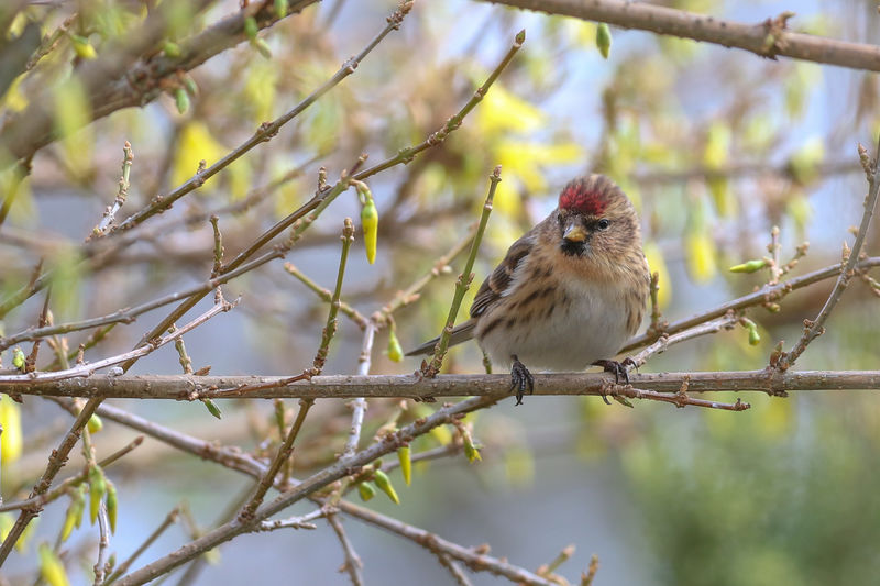 Lesser Redpoll Animal Animal Themes One Animal Vertebrate Bird Animal Wildlife Animals In The Wild Perching Branch Tree Focus On Foreground Plant Day Nature No People Outdoors Selective Focus Twig Close-up Sparrow
