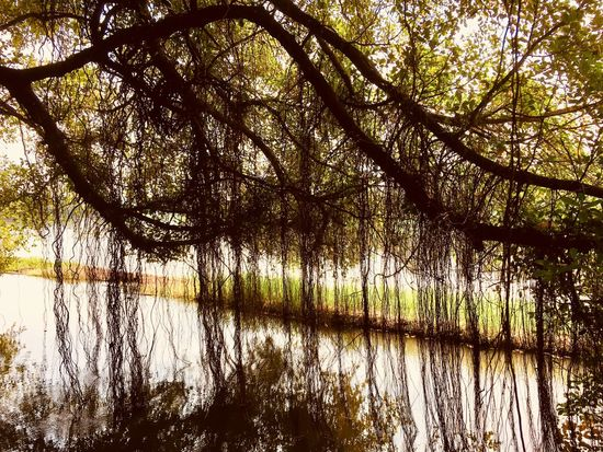 Nature Curtain Banyan Tree Roots Riverside Reflection Tree Water Nature Tranquil Scene Tranquility Beauty In Nature Scenics Outdoors Day