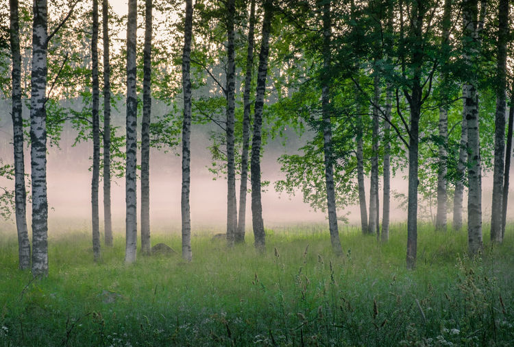 Scenic woodland landscape with foggy mood and birch trees at summer night in Finland Tree Land Forest Beauty In Nature Nature Scenics - Nature Landscape Tree Trunk Outdoors WoodLand Green Color Tranquil Scene Tranquility No People Growth Finland Foggy Mist Fog Sunset Summer Night Tranquility Tranquil Peaceful Atmospheric Mood